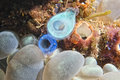 Sea squirt on the reef Royalty Free Stock Photo