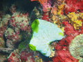 Sea squirt the surprising underwater world of the bali basin island bali pemuteran Royalty Free Stock Images