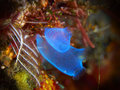 Sea squirt tropical coral reef with in bali indonesia Royalty Free Stock Photo