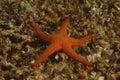 Sea star mabul island sabah Stock Photo