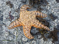 Sea Star (Starfish) on a rock Royalty Free Stock Images