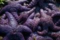Sea stars cling to rocks on vancouver island british columbia starfish Stock Photos
