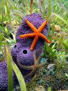 Sea stars and sponge Royalty Free Stock Photo