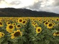 The sea of sunflowers. Royalty Free Stock Photo