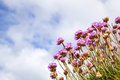 Sea thrift thrist against a blue sky with white cloud Royalty Free Stock Image