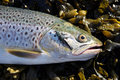 Sea Trout 2 Royalty Free Stock Images