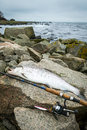Sea trout fishing on rocky swedish coast winter scenery with trophy fish Stock Photo