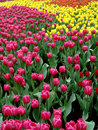 Sea of tulips Stock Images