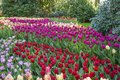 A sea of tulips in different colors between the rhododendron bushes Royalty Free Stock Photo