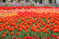 Sea of tulips in national park Royalty Free Stock Photo