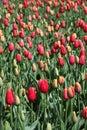 Sea of tulips Royalty Free Stock Photo