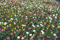 Sea of tulips. Spring floral background. Netherlands countryside. tulips in garden. Magic spring landscape with flowers Royalty Free Stock Photo