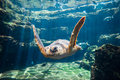Sea turtle at aquarium seat underwater Royalty Free Stock Image