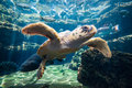 Sea turtle at aquarium seat underwater Royalty Free Stock Photo