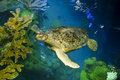Sea turtle in aquarium swimming among coral reef the new england boston massachusetts ma Royalty Free Stock Photos