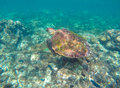 Sea turtle in blue water. Green sea turtle close photo. Royalty Free Stock Photo