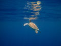 Sea turtle breathes at the surface Royalty Free Stock Image