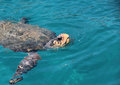 Sea turtle  Caretta caretta surfacing Royalty Free Stock Photo