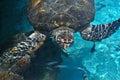 Sea Turtle, Caribbean Sea Royalty Free Stock Photo