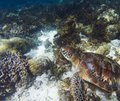 Sea turtle on coral sea bottom. Seaworld underwater photo. Green turtle undersea Royalty Free Stock Photo