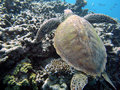 Sea turtle and coral reef Royalty Free Stock Photo