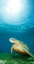Sea turtle deep underwater Royalty Free Stock Photo