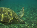 Sea Turtle Diving Underwater Royalty Free Stock Photo