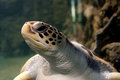 Sea turtle green swimming close up photo Stock Photography