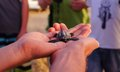 Sea turtle hatchling loggerhead baby conservationist holding in hands Stock Photo