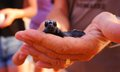 Sea turtle hatchling loggerhead baby conservationist holding in hands Stock Images
