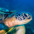 Sea turtle head of a with remora nearby Royalty Free Stock Image