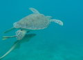 The sea turtle and his friends Royalty Free Stock Photo