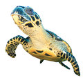 Sea turtle isolated Royalty Free Stock Photo