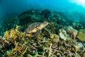 Sea turtle kapoposang indonesia mydas chelonia underwater scuba diving diver Royalty Free Stock Photo
