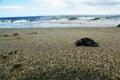 Sea turtle little newly born turttle dead over sand Stock Photo
