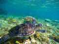 Sea turtle in nature closeup. Olive green turtle underwater photo. Sea animal in corals. Royalty Free Stock Photo