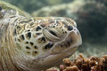 A sea turtle portrait close up while looking at you Stock Photography