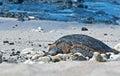 Sea Turtle Resting on Beach Royalty Free Stock Photo