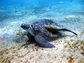 Sea turtle and suckerfish Stock Photo