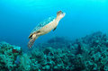 Sea turtle swimming underwater Royalty Free Stock Image