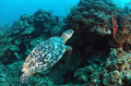 Sea turtle swimming underwater Royalty Free Stock Photo