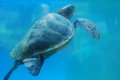 Sea Turtle Swimming Up to the Ocean's Surface Royalty Free Stock Photo
