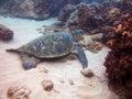 Sea turtle underwater photo maui hawaii Royalty Free Stock Photo