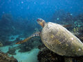 Sea turtle underwater photo maui hawaii Royalty Free Stock Images