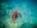 Sea turtle was swimming up breathe Stock Photography