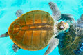 Sea turtle a in the water Royalty Free Stock Image