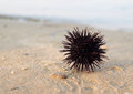 Sea urchin Stock Image