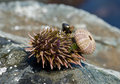 Sea-urchin 3 Royalty Free Stock Photography