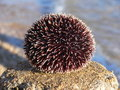 Sea - urchin Royalty Free Stock Photo