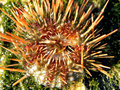 Sea urchin a close up view of a live Stock Photos